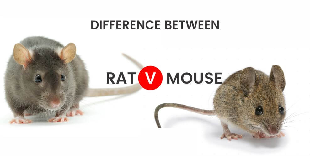 DIFFERENCE RAT AND MOUSE