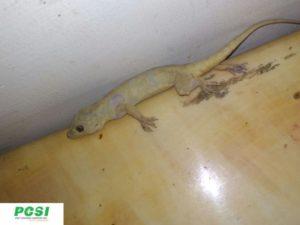 Lizard - After Treatment