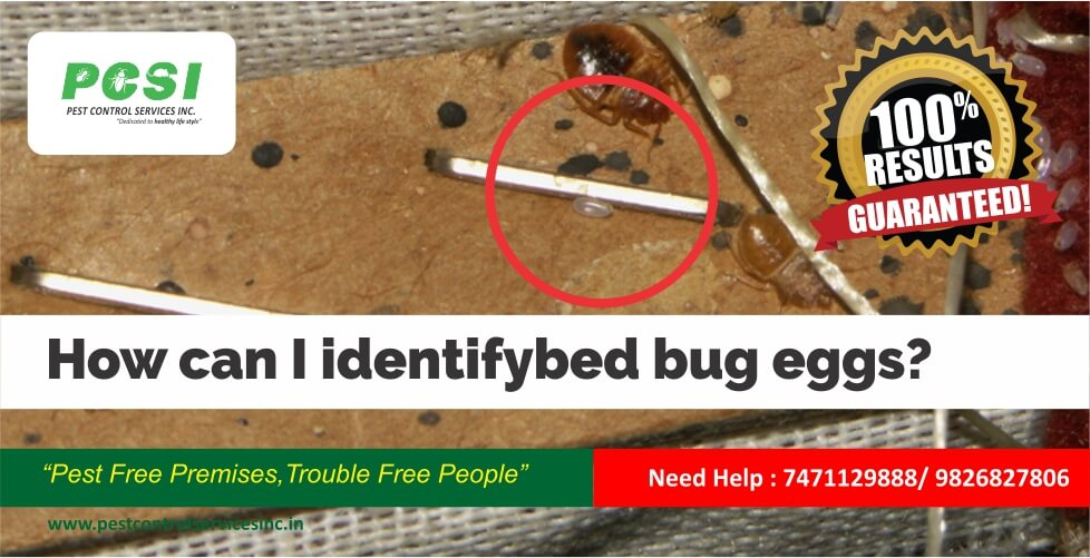 How can I identify bed bug eggs